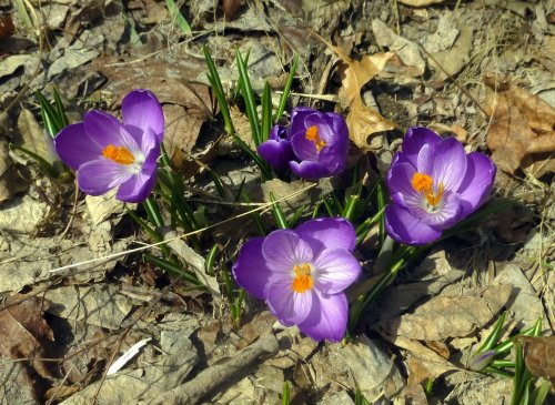 1. Crocus Blossoms on Easter