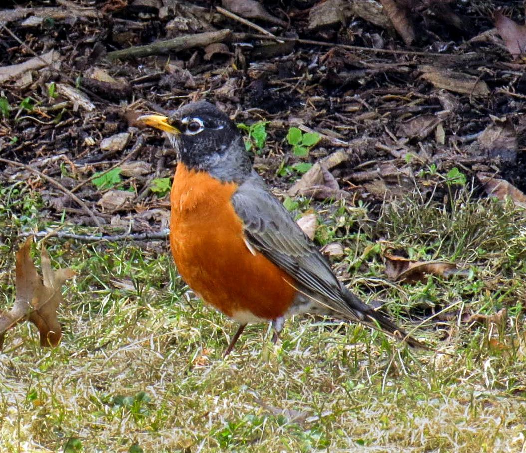1. Robin