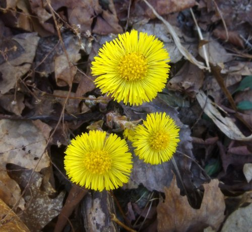10. Coltsfoot