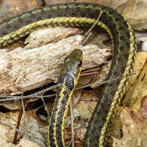 10. Garter Snake