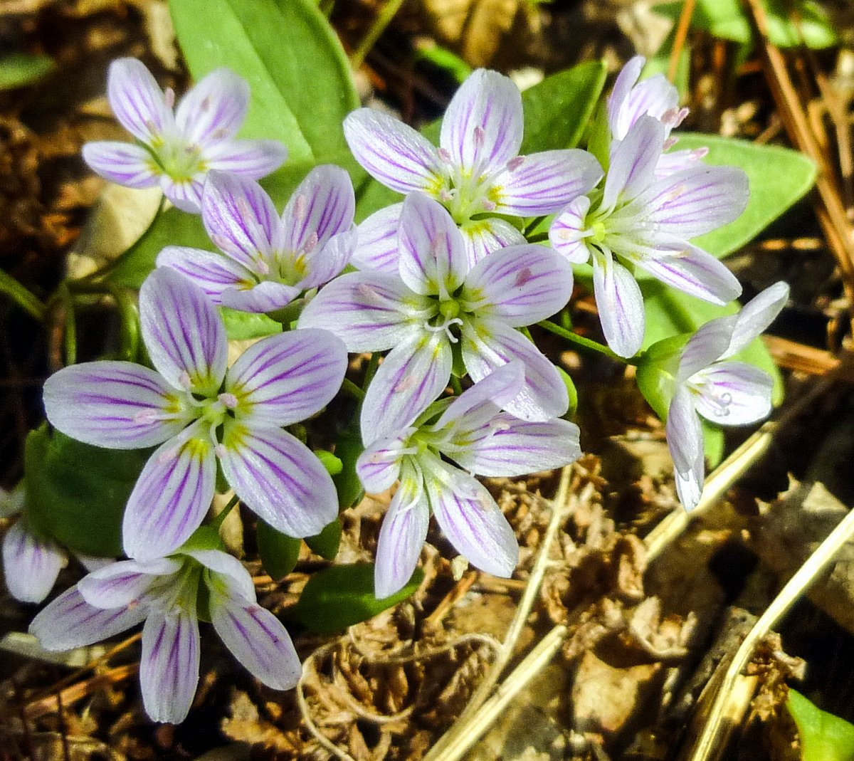 10. Spring Beauties