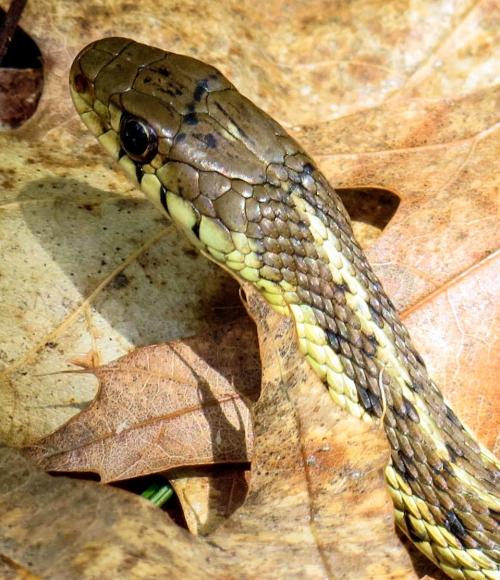 11. Garter Snake