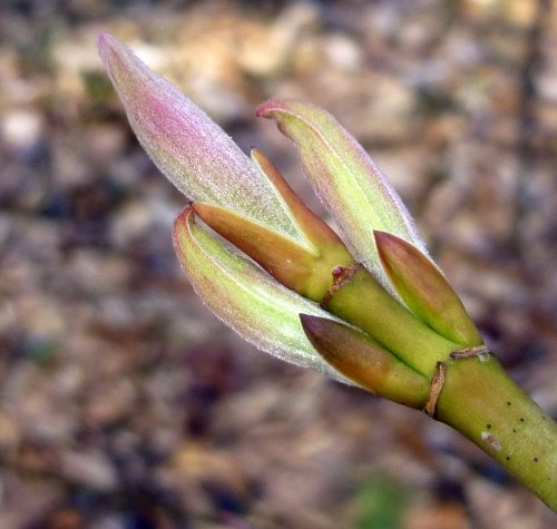 12. Striped Maple Buds