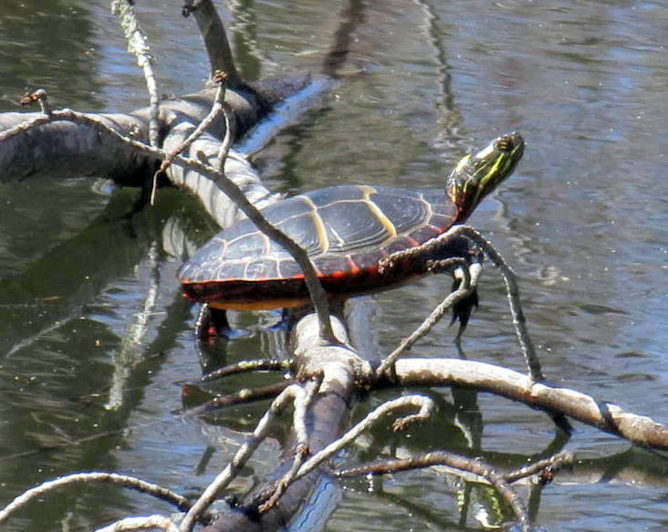 12. Turtle