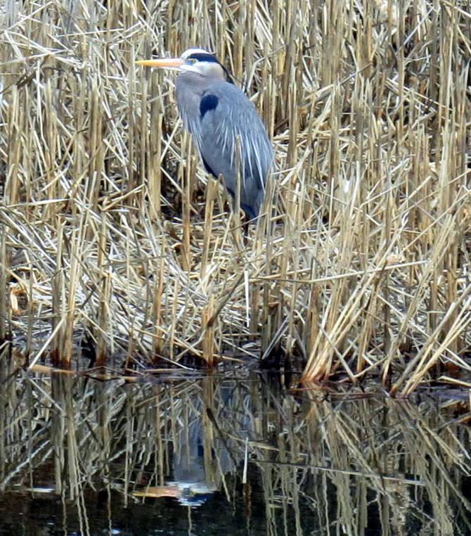 13. April Great Blue Heron