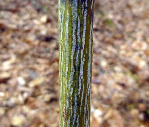 13. Striped Maple Bark