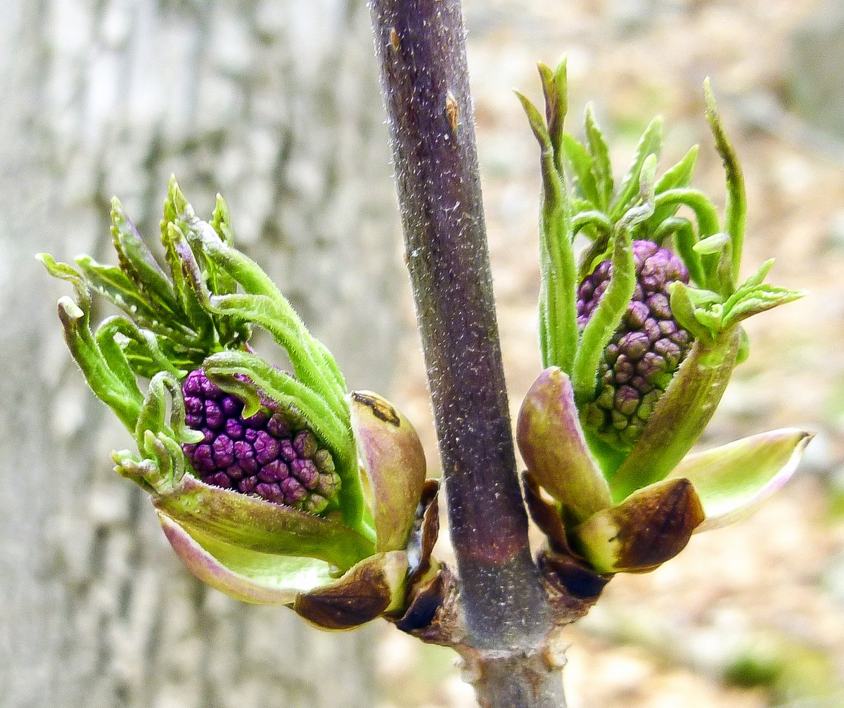 14. Red Elderberry Buds