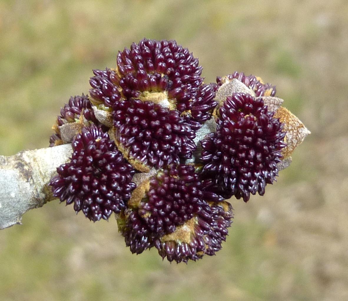 14. White Ash Buds aka Fraxinus americana