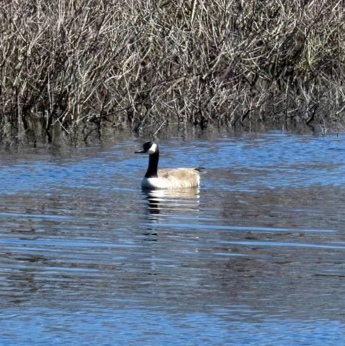16. Canada Goose