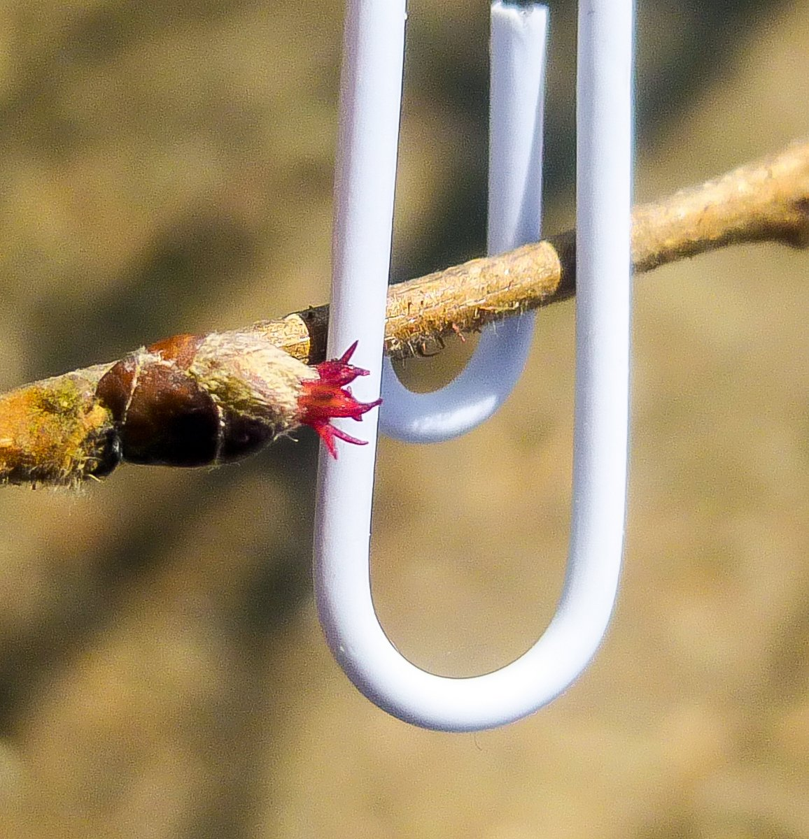 3. Female Hazel Blossom with Paper Clip