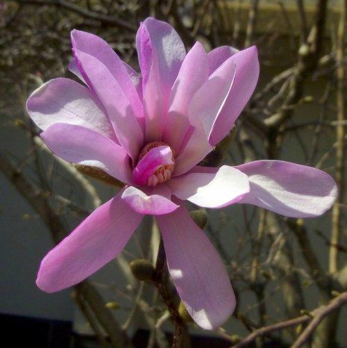 3. Magnolia Blossom