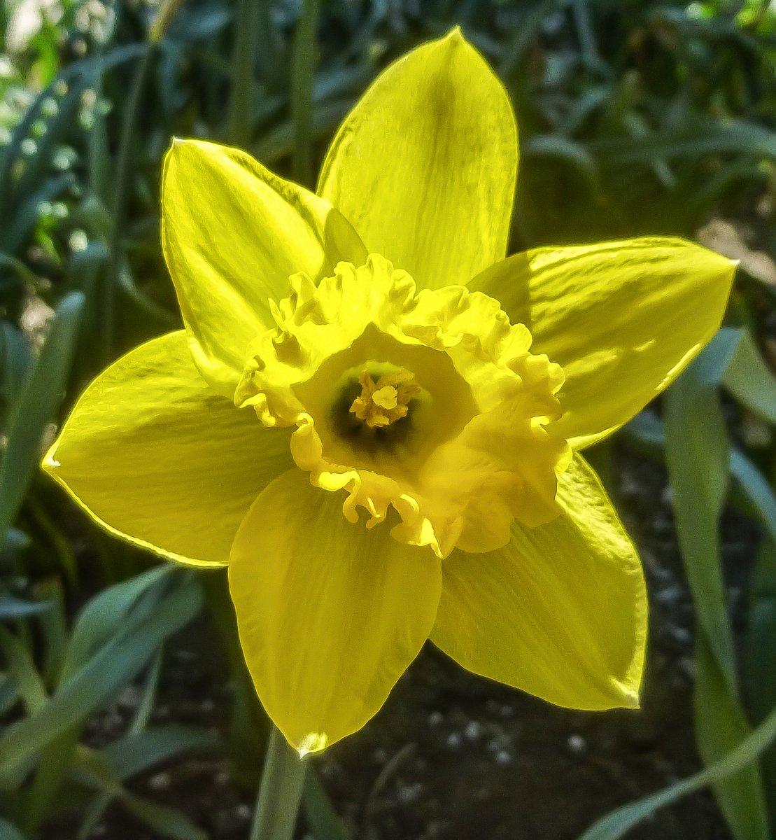 Wild flowers new hampshire garden solutions 3 single daffodil mightylinksfo