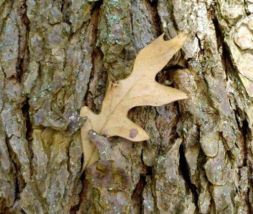 4. Oak Leaf