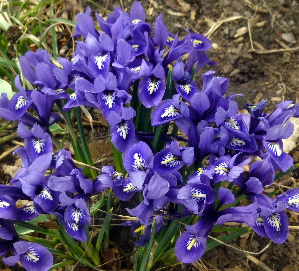 4. Reticulated Iris
