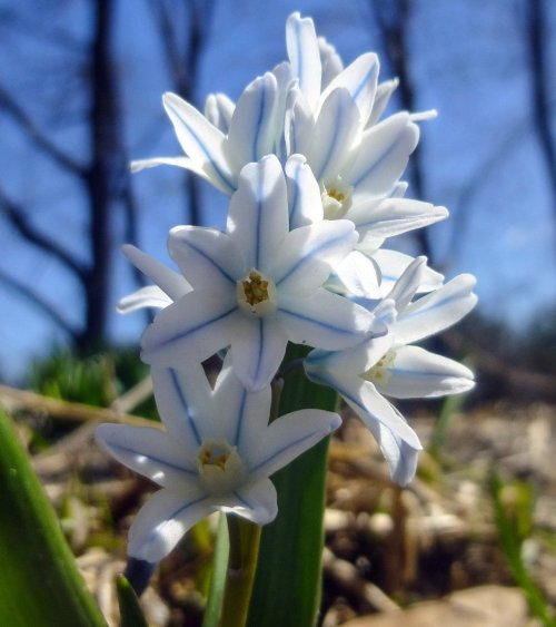 4. Striped Squill
