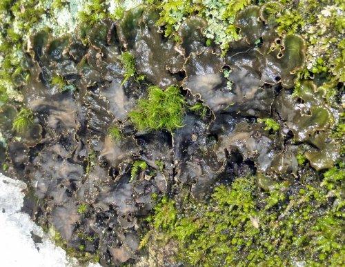5. Dog Lichen