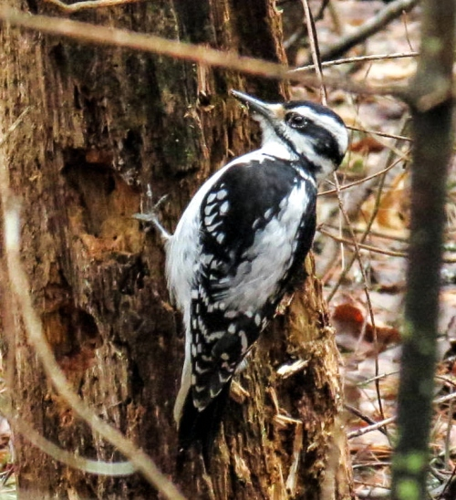5. Downy Woodpecker