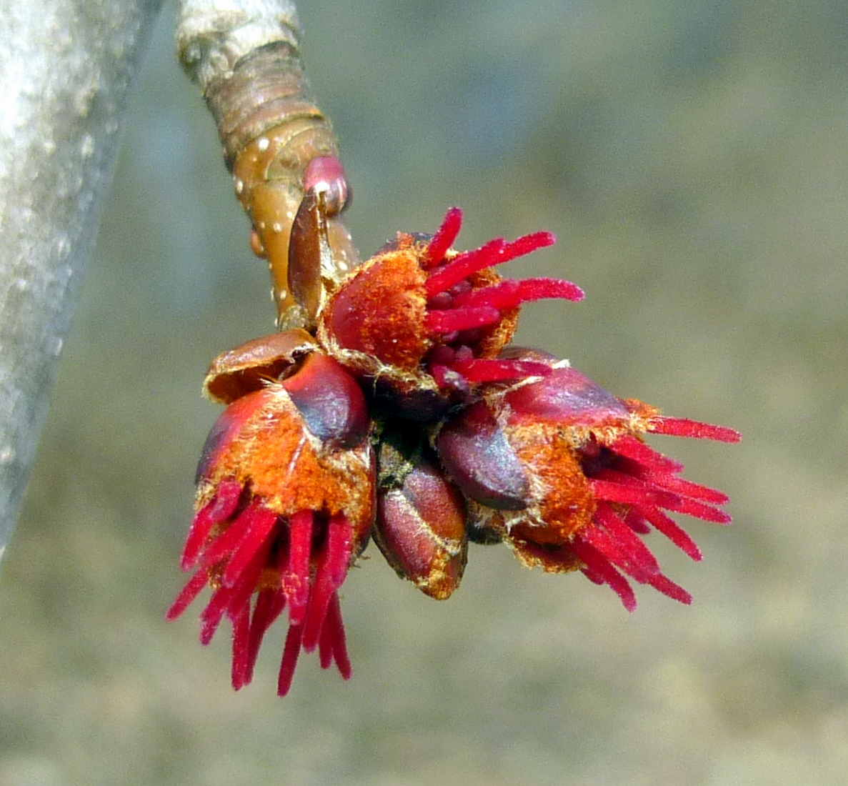 5. Female Red Maple Flowers