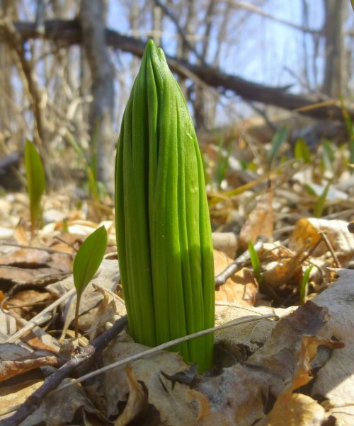 6. False Hellebore Shoot