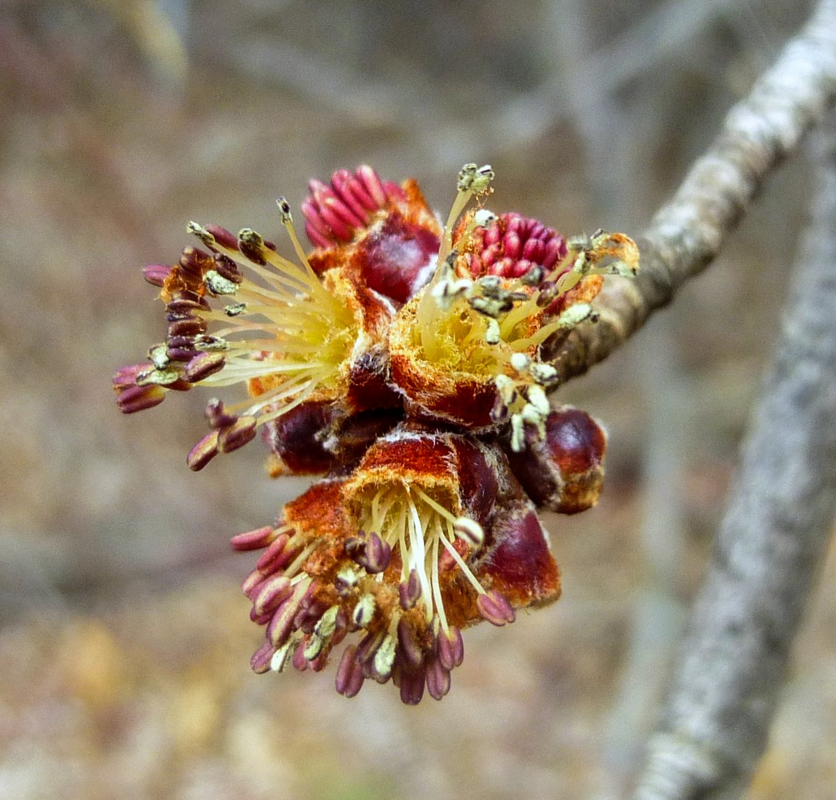 6. Male Red Maple Flowers-2