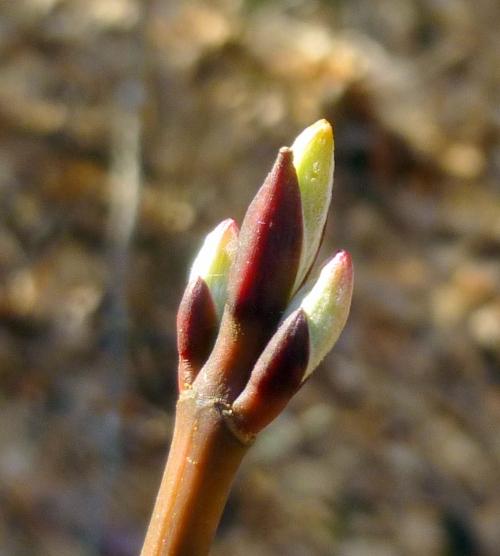 6. Striped Maple Buds