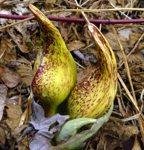 6. Yellow Skunk Cabbage