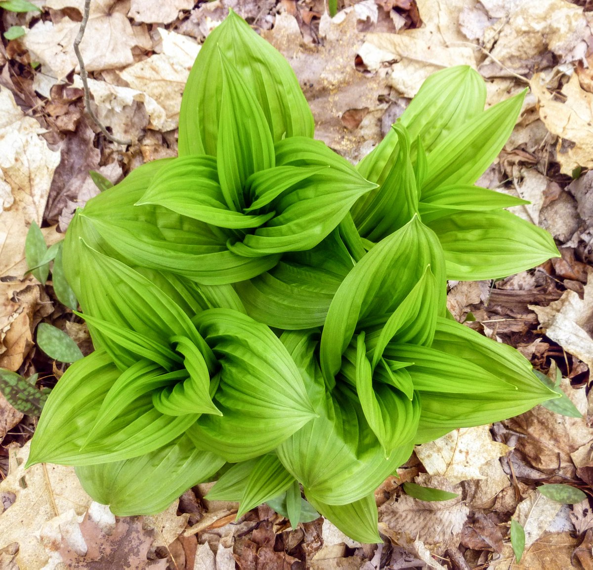 7. False Hellebore