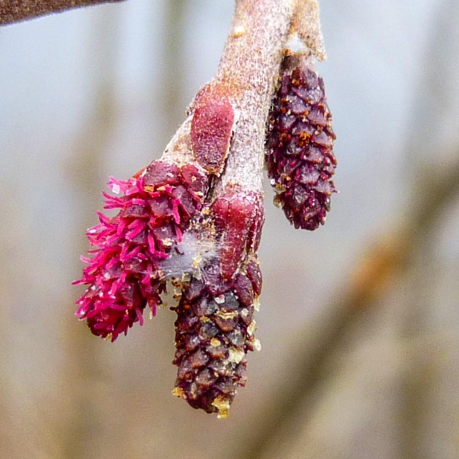 8. Female Alder Flowers