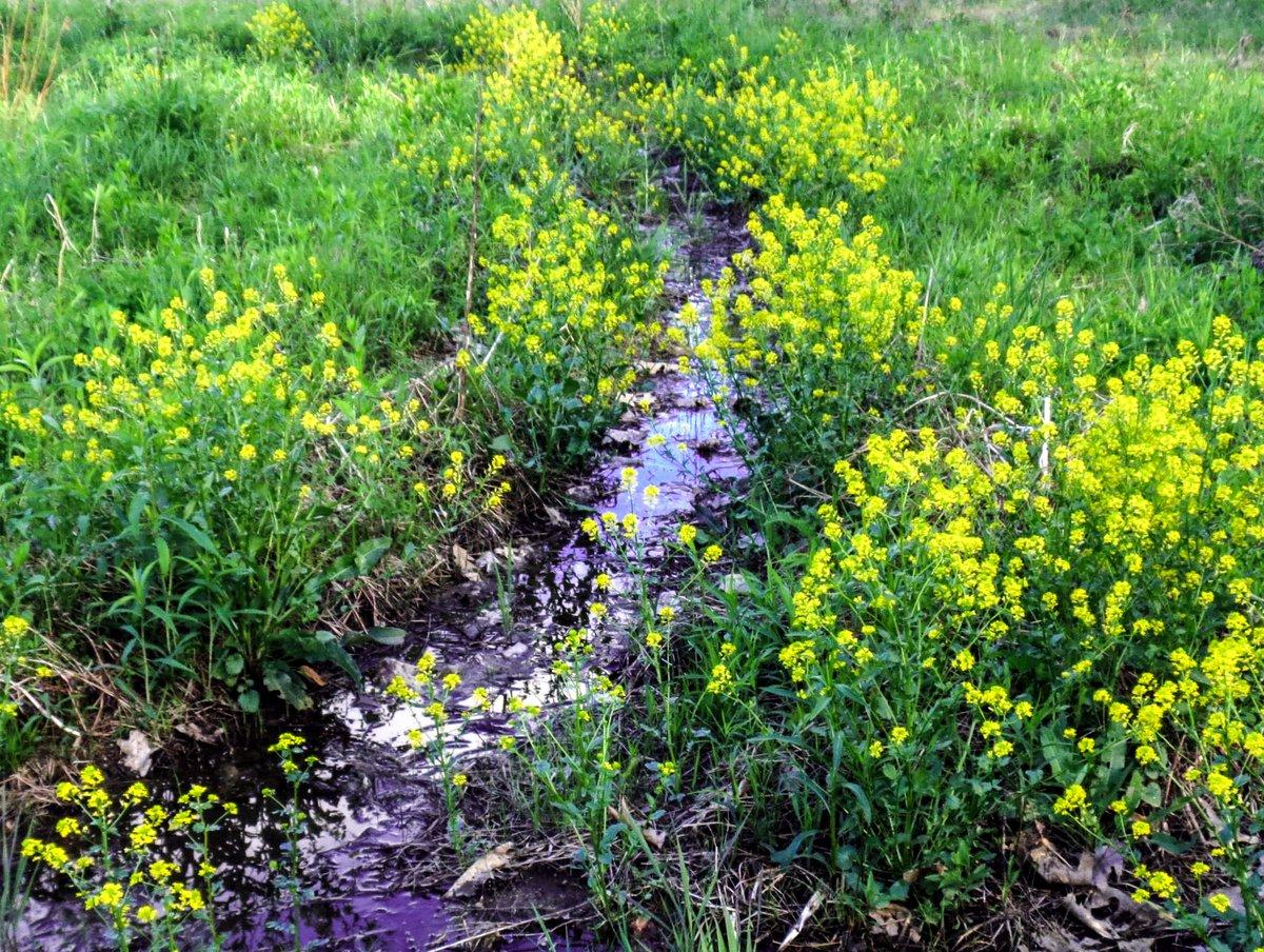 1. Common Wintercress aka Barbarea vulgaris