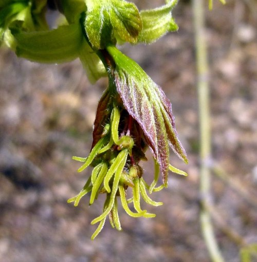 1. Female Box Elder Flowers