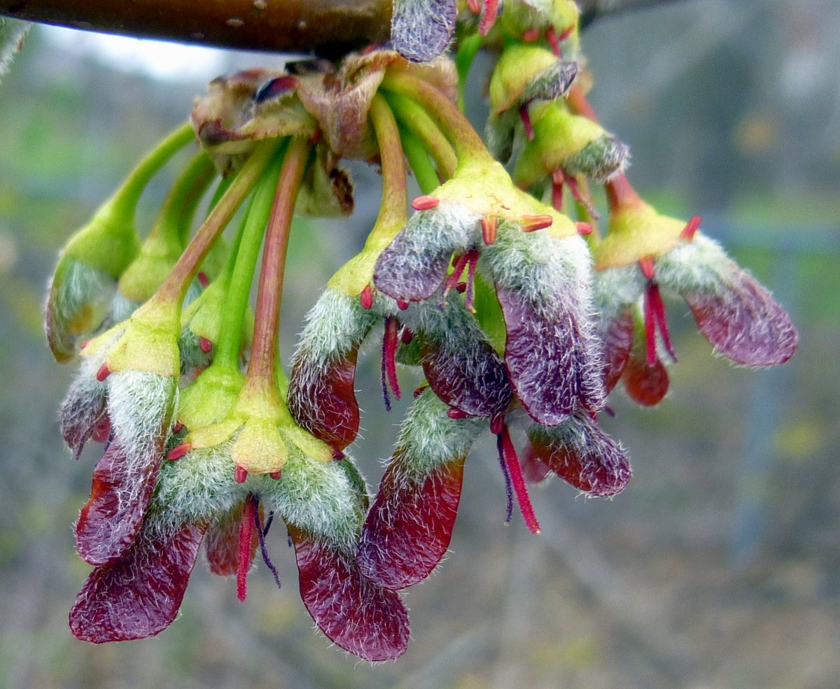 1. Silver Maple Seeds