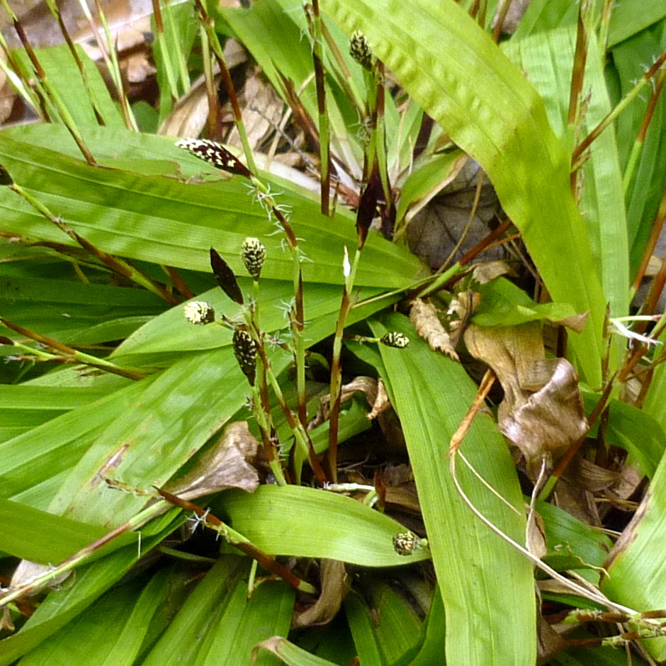 11. Plantain Leaved Sedge aka Carex plantaginea