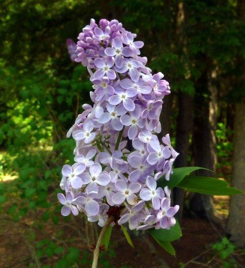 12. Lilac