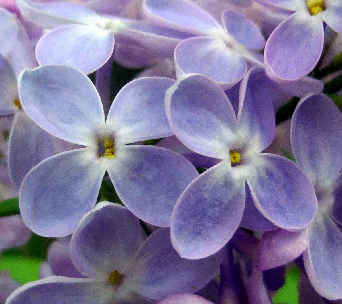 13. Lilac