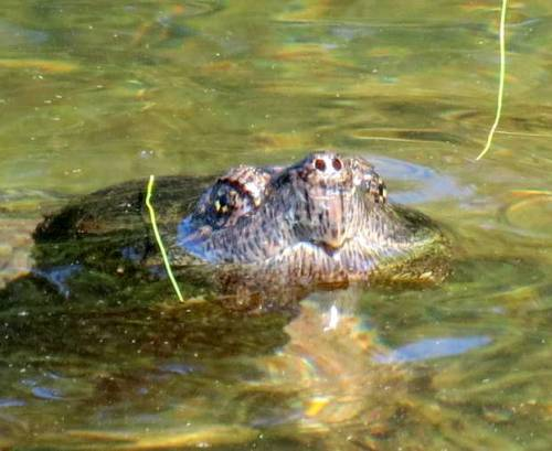 13. Snapping Turtle
