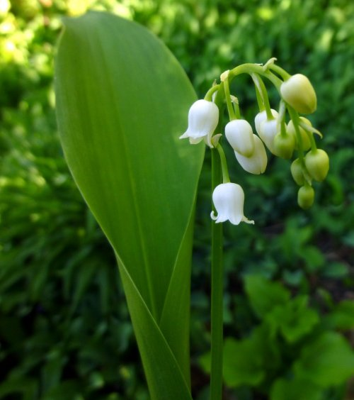 14. Lily of the Valley