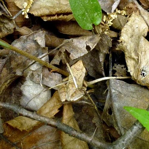 14. Spring Peeper aka Pseudacris crucifer