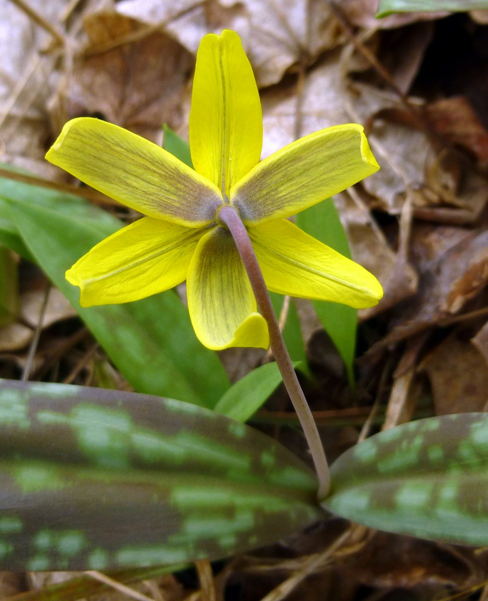 15. Trout Lily