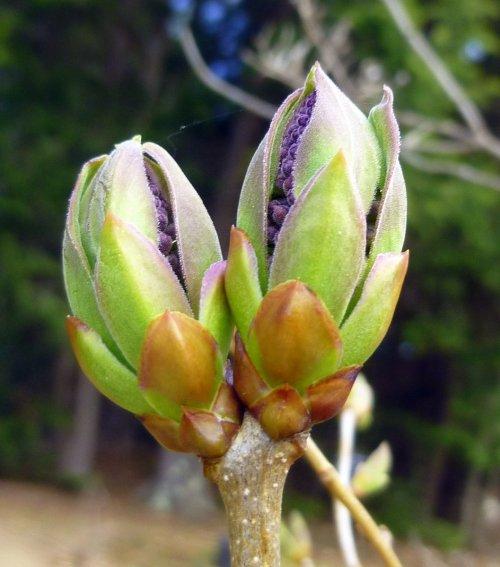 16. Lilac Buds