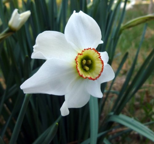 16. Poet's Daffodil