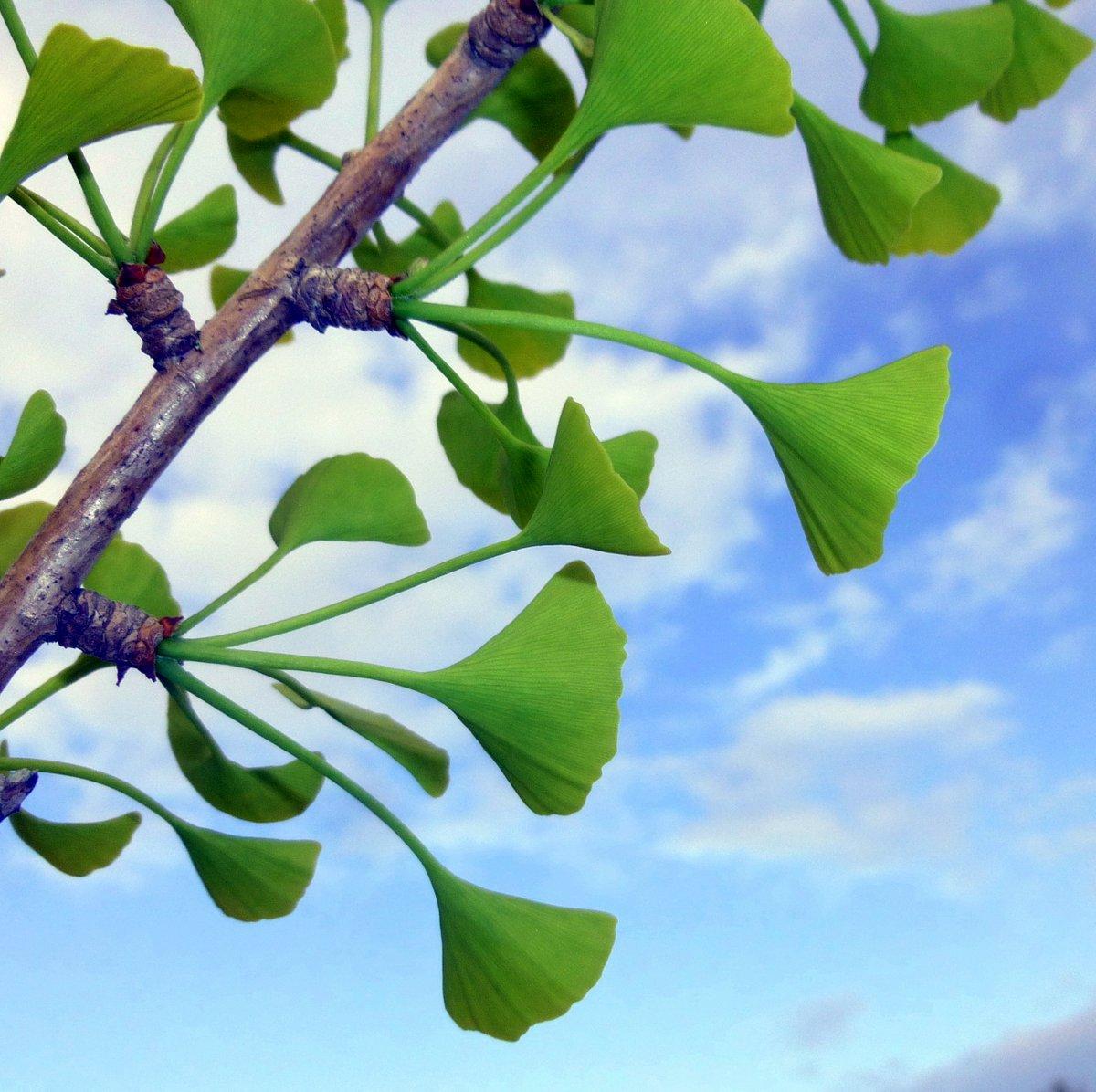 3. Ginko Leaves