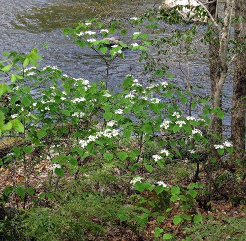3. Hobblebushes