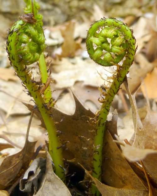 3. Lady Fern Fiddleheads