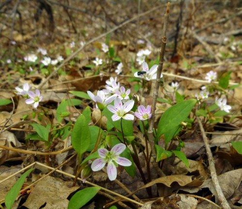 3. Spring Beauties