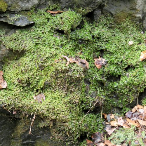 4. Liverwort Colony