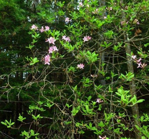4. Native Azalea
