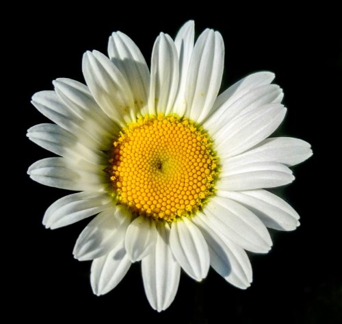 4. Ox Eye Daisy