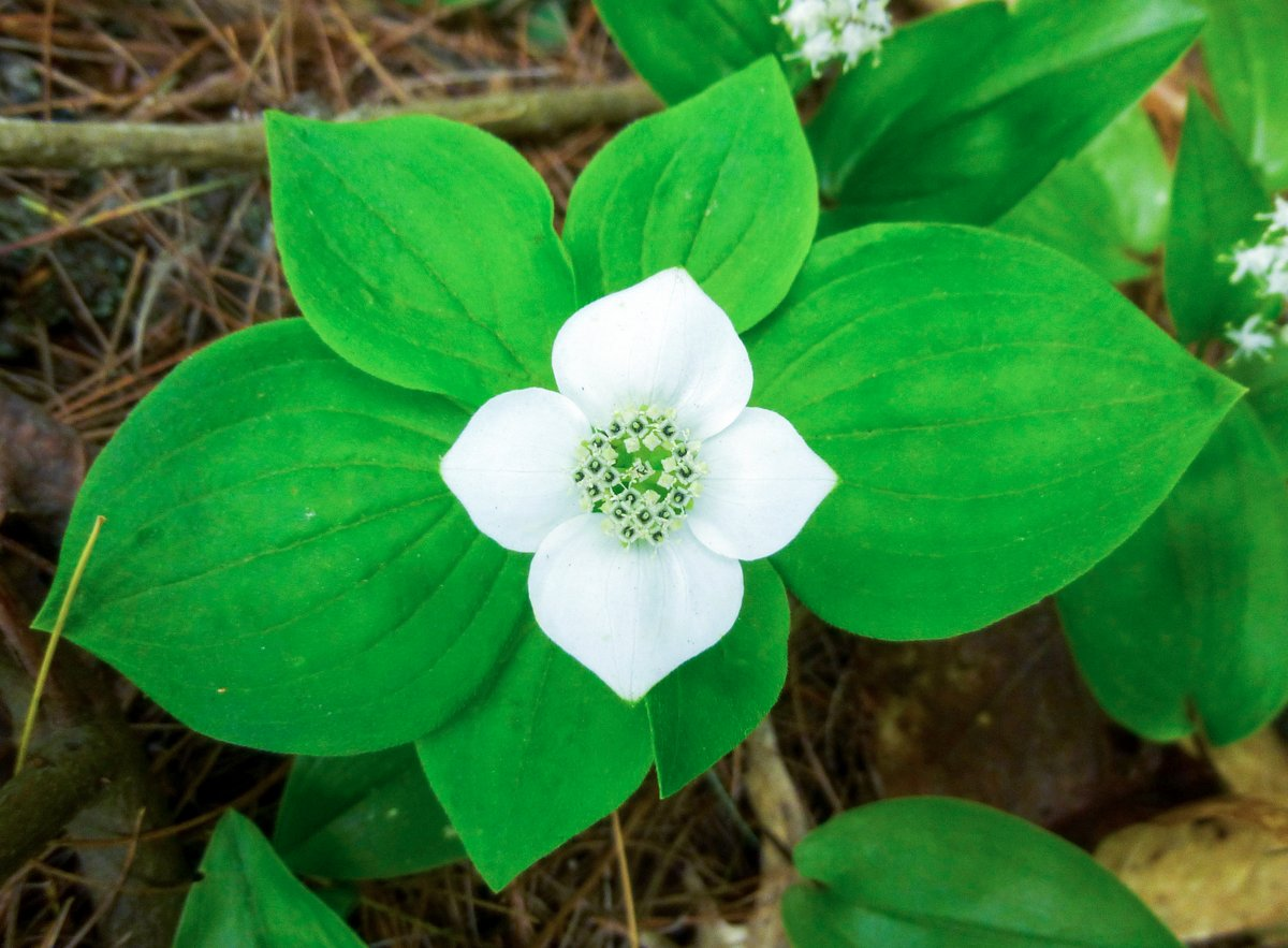 5. Bunchberry