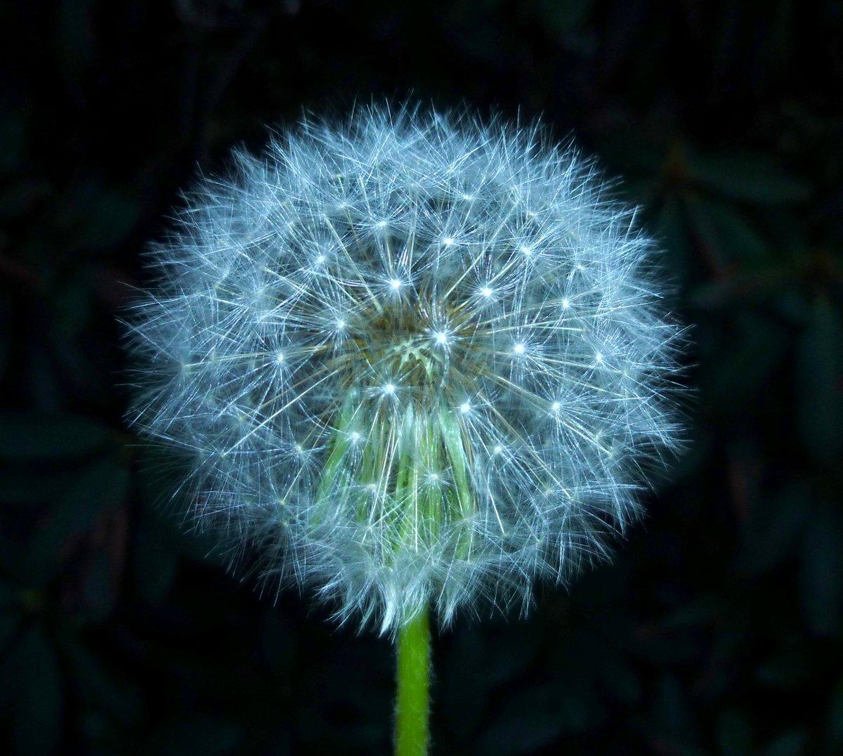 5. Dandelion Seed Head