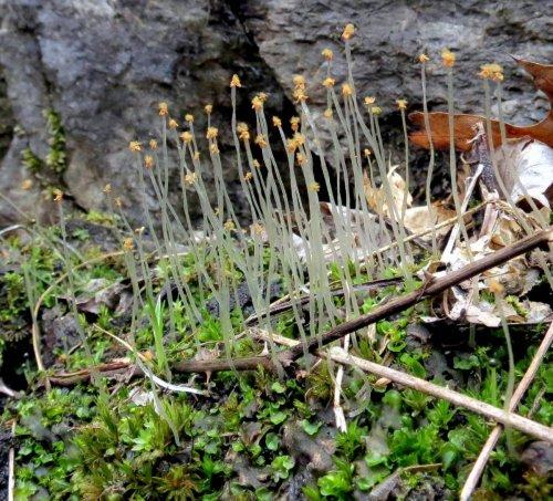 5. Pellia epiphylla with sporophytes